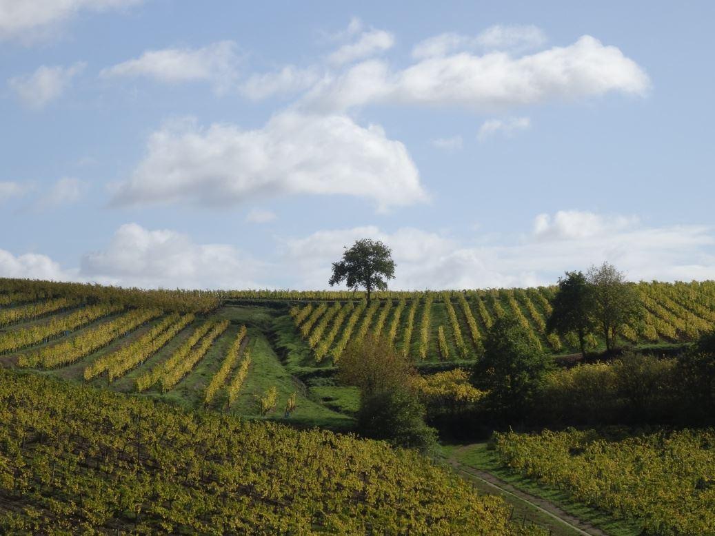 Vignobles vers Rochefort sur Loire